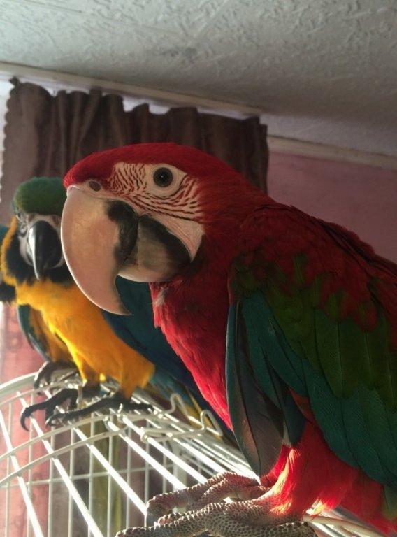 Попугаи зеленокрылые ары видео новинки