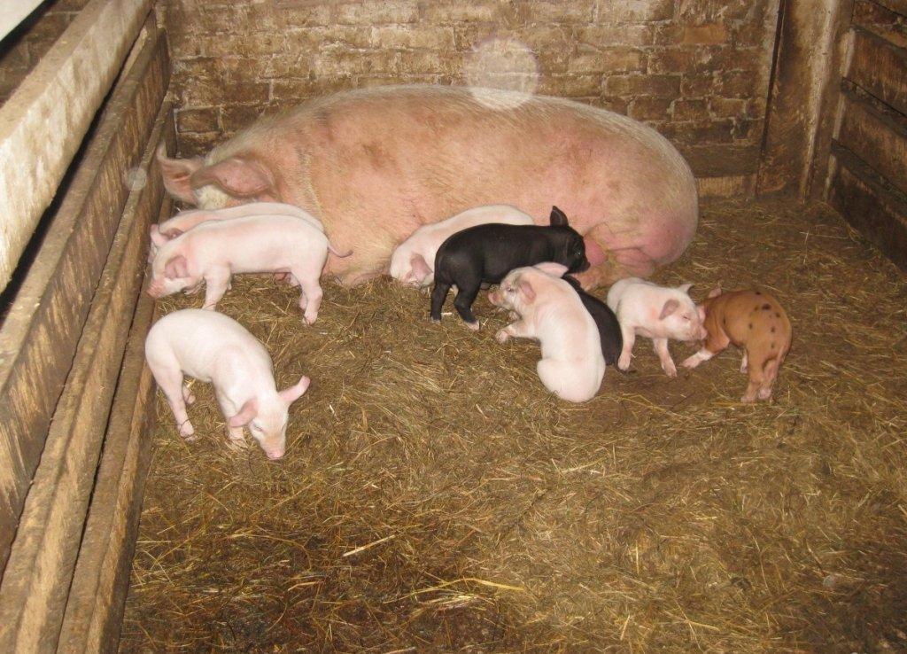 несколько вариантов фото домашних свинарников связи