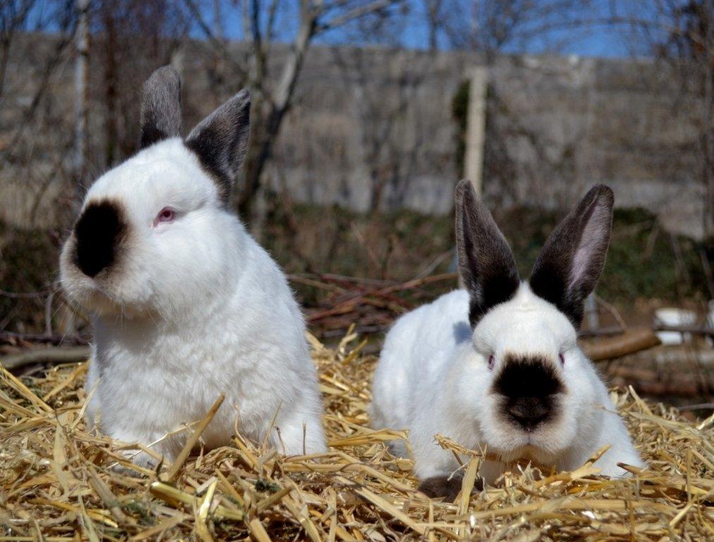 Картинки кроликов калифорния