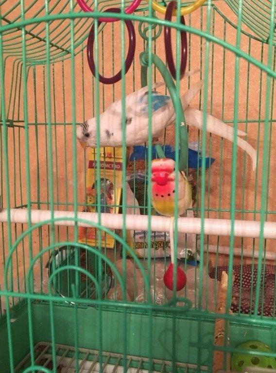 Волнистые попугаи самара