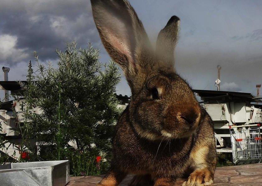 сидя смотреть картинки кроликов гигантов можно найти как