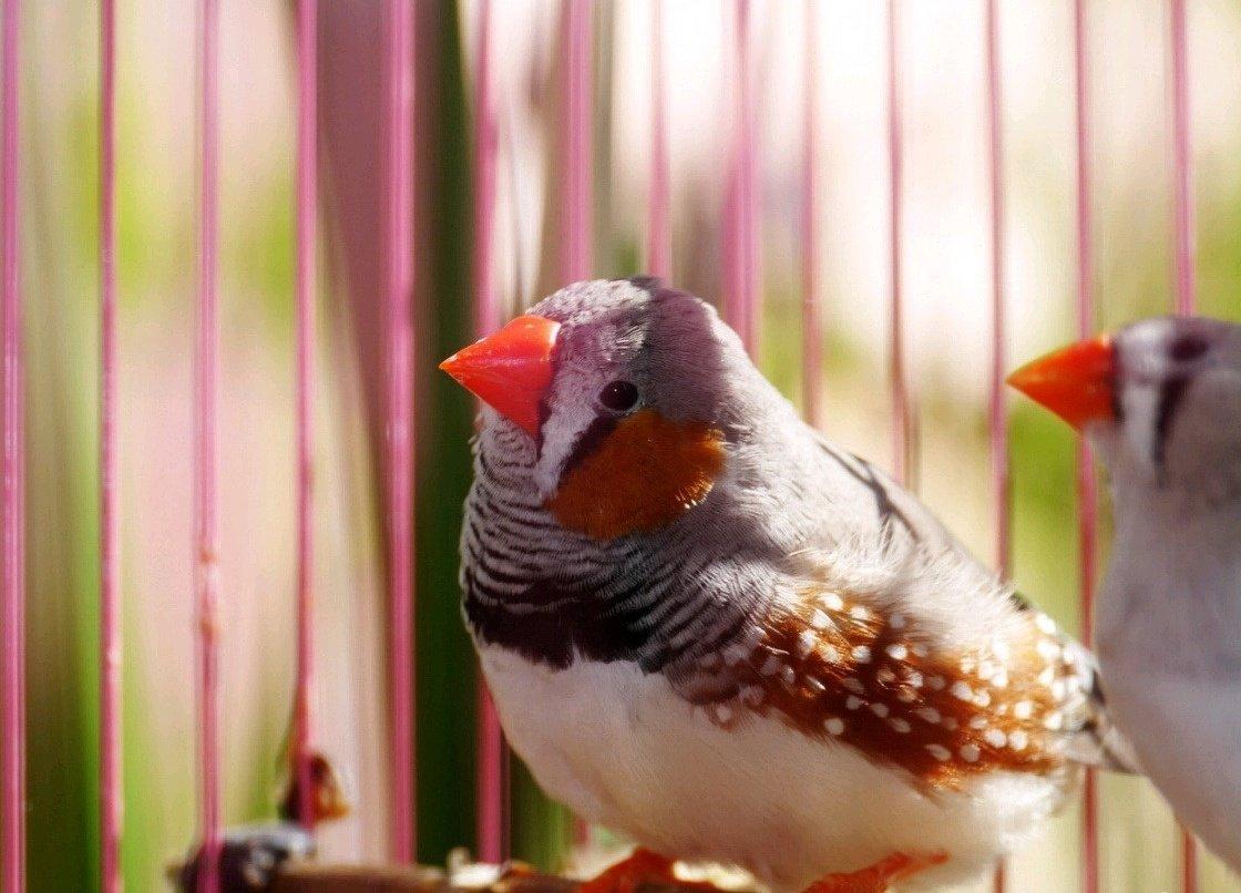 нам, картинки птички амадин пользуются при