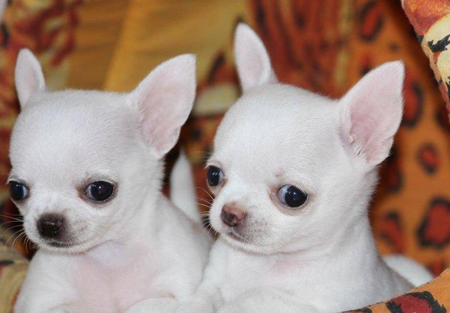 фото собак чихуахуа мини гладкошерстные