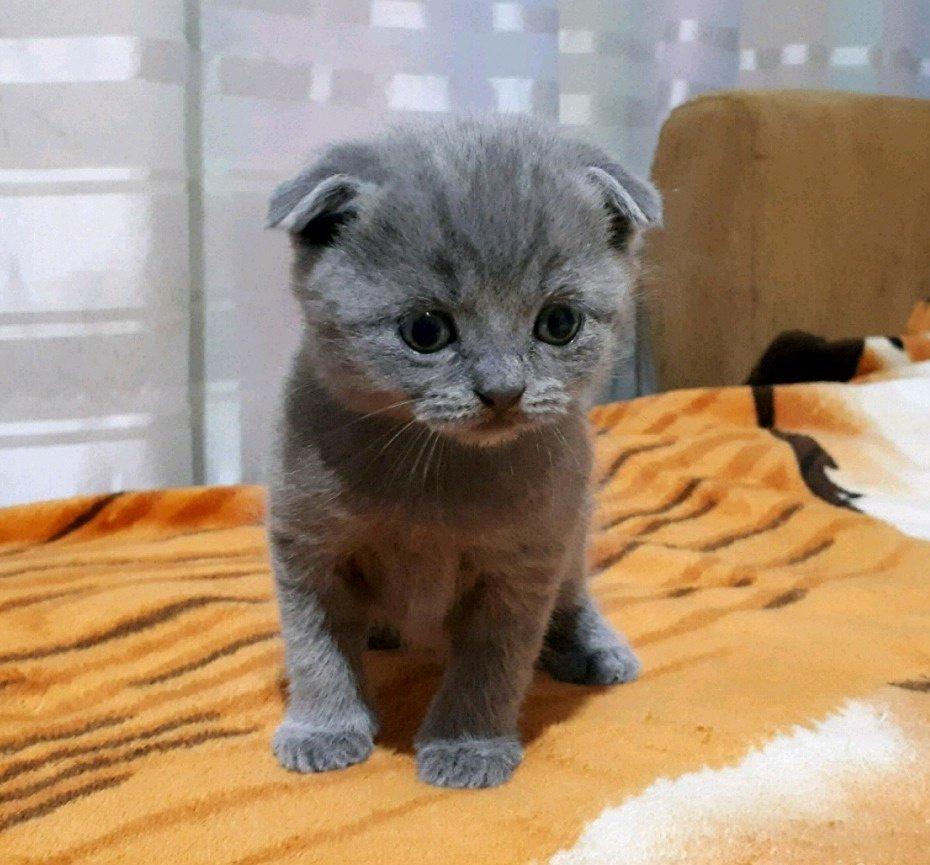 делом серые вислоухие котята картинки шерстистости