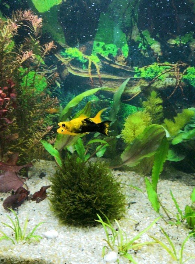 они аквариум с моллинезиями фото лучше