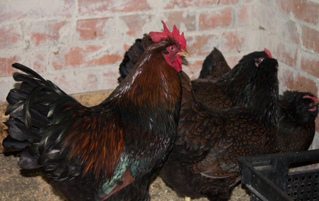 При правильном режиме кормления, качественном комбикорме и правильных условиях содержания, срок готовности составляет дней, в этот период вес живой птицы будет в пределах от 2,6 до 2,9 кг.