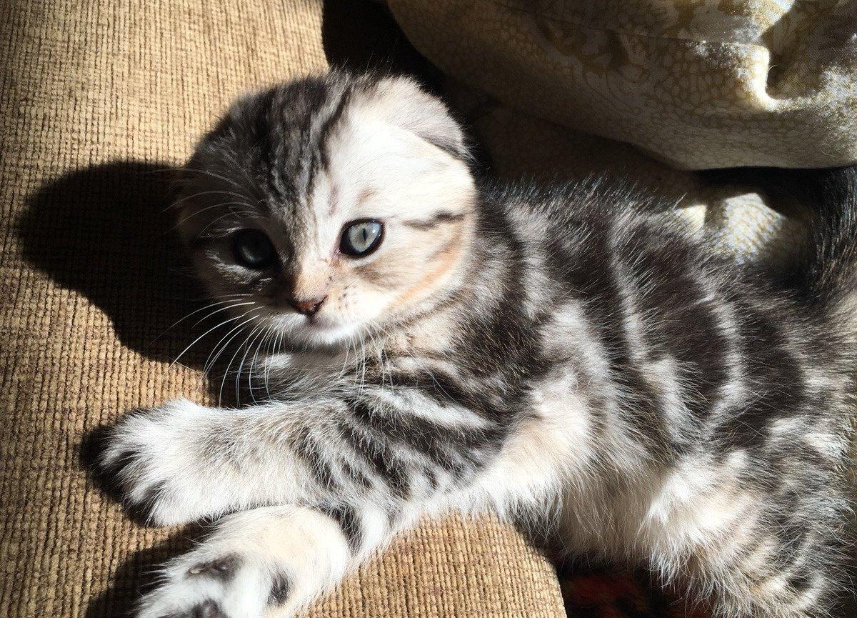 рубежом, шотландский вислоухий котенок фото мраморный химера это
