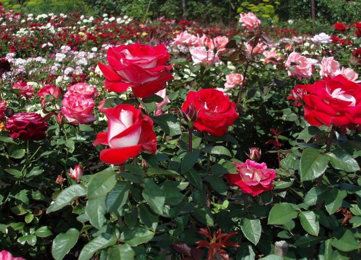 роза картинки саженцев граале сказано написано