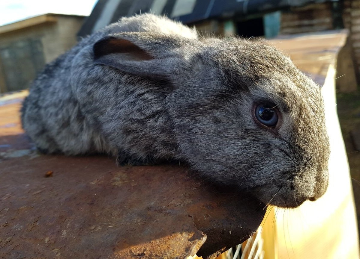 фото пепельная шиншилла кролик