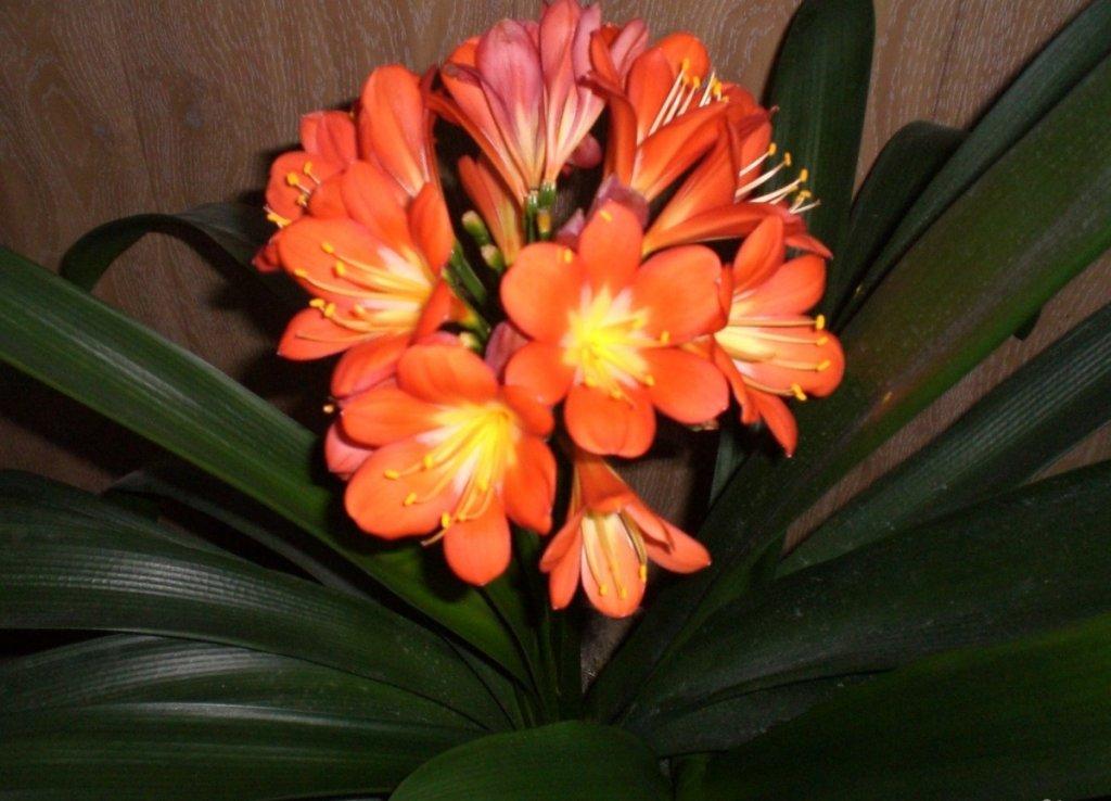 Цветов, купить цветок кливия в орехово-зуево