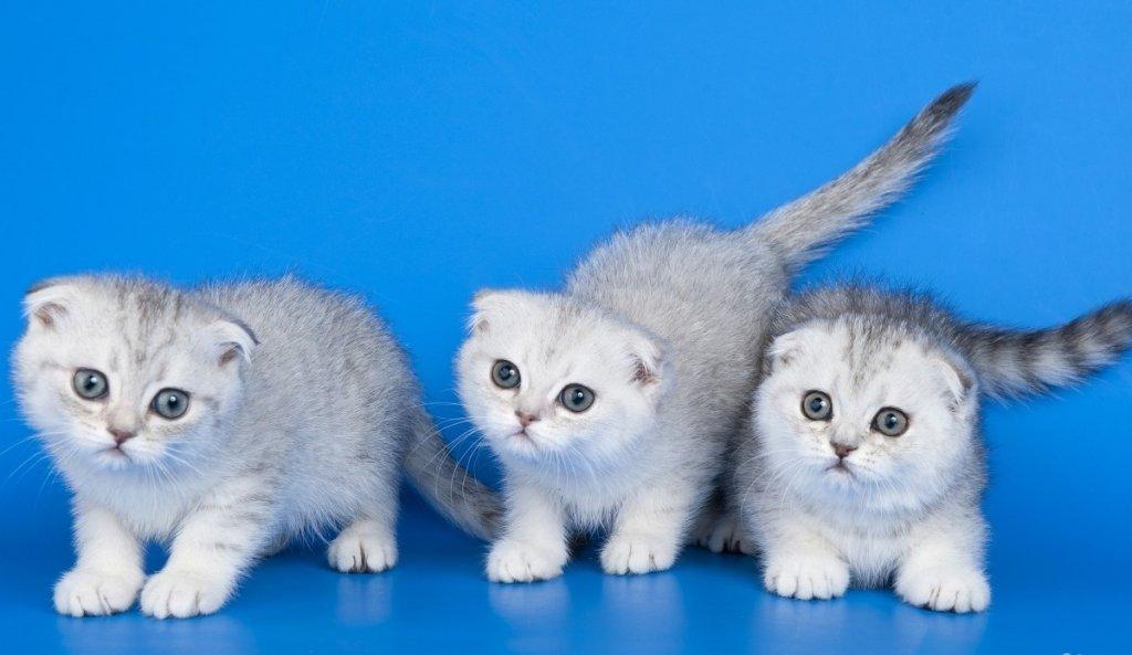 картинки маленькие котята вислоухие котята долгие