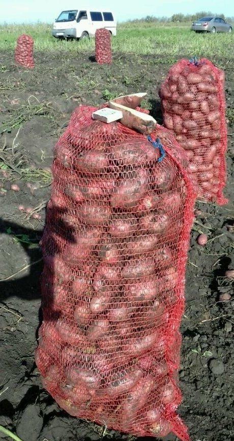 Картошка крымская роза описание фото